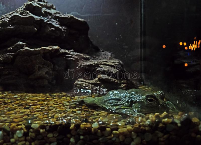 Ciérrese encima de rana mugidora africana o el adspersus de Pyxicephalus se acuesta encendido imagen de archivo libre de regalías