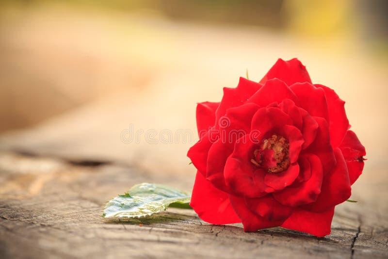 Ciérrese encima de rosa macra del rojo en de madera viejo fotos de archivo