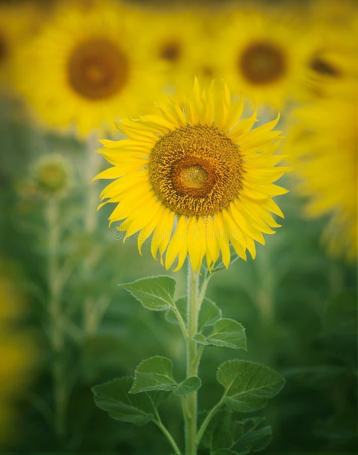Ciérrese encima de solo del pétalo hermoso de los girasoles en frild de las flores con uso del espacio de la copia como fondo de  fotografía de archivo