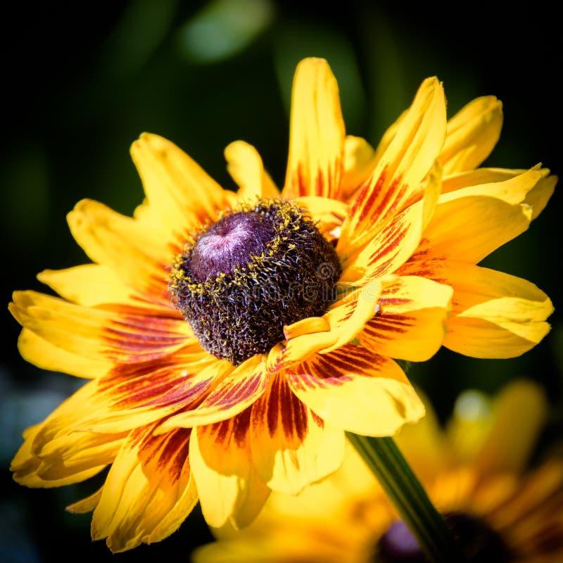 Ciérrese encima de Susan Flower observada negro amarillo de oro vibrante foto de archivo