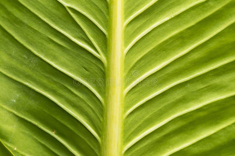 Ciérrese encima de textura verde de la hoja imagenes de archivo