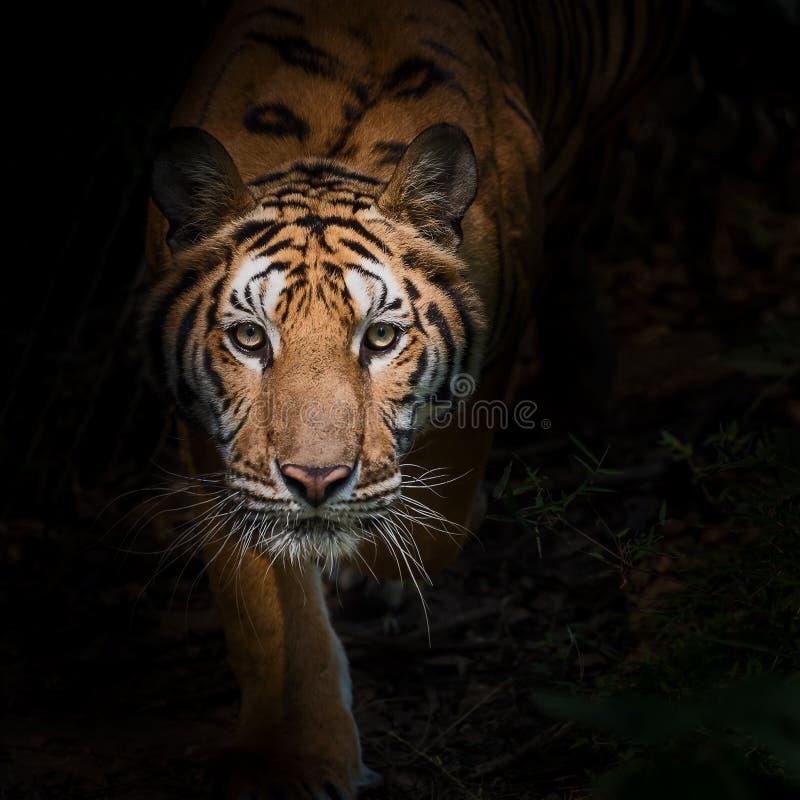 Ciérrese encima de tigre foto de archivo