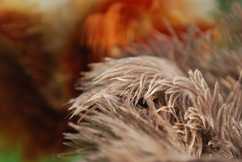 Ciérrese encima de tiro de la mayoría del arreglo asombroso de la pluma de la avestruz imagen de archivo libre de regalías