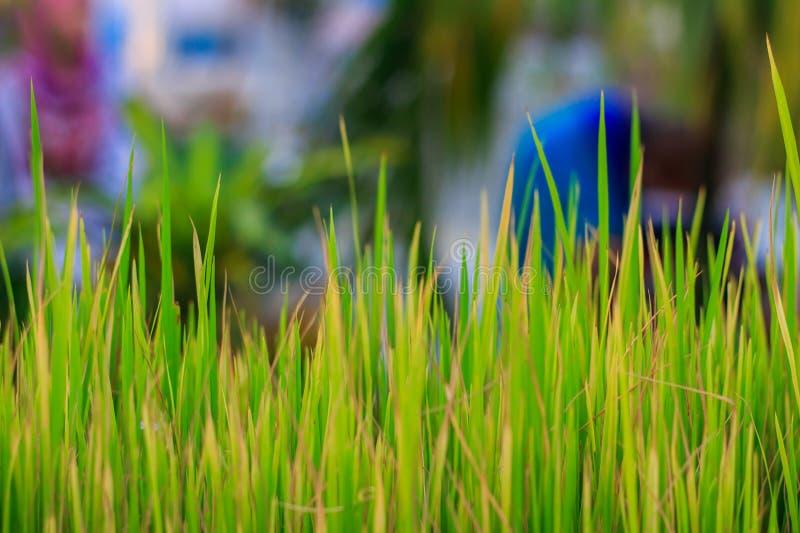 Ciérrese encima de tiro en una hierba del arroz fotografía de archivo