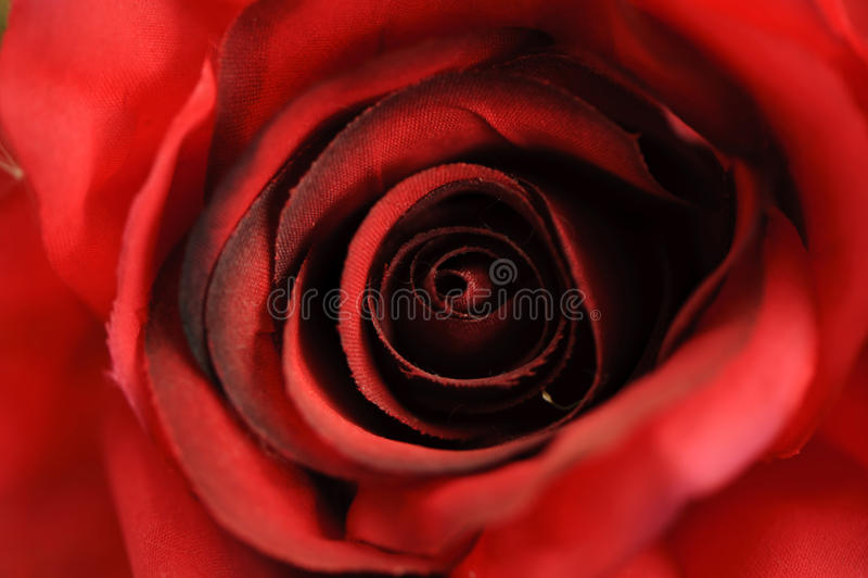 Ciérrese encima de tiro macro de una rosa roja imagenes de archivo