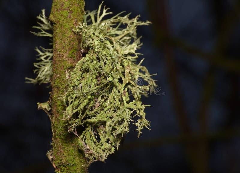 Ciérrese encima de tiro macro del liquen verde - Reino Unido imagen de archivo