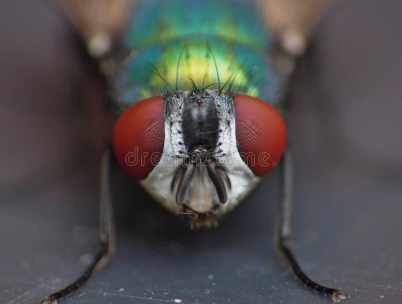 Ciérrese encima de tiro macro de un verde/de un azul en el jardín, foto de la moscarda admitida el Reino Unido imagen de archivo