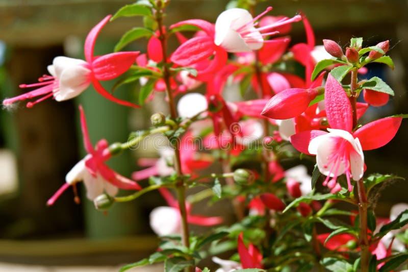 Ciérrese encima de triphylla fucsia con los pétalos blancos, los estambres rosados y la inflorescencia fotos de archivo libres de regalías