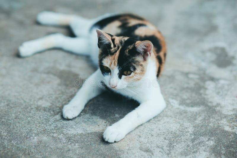 Ciérrese encima de un gato en el piso del cemento, piel tailandesa del gato , Piel tailandesa del gato imagenes de archivo