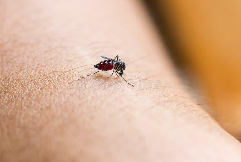 Ciérrese encima de una sangre humana que chupa del mosquito foto de archivo