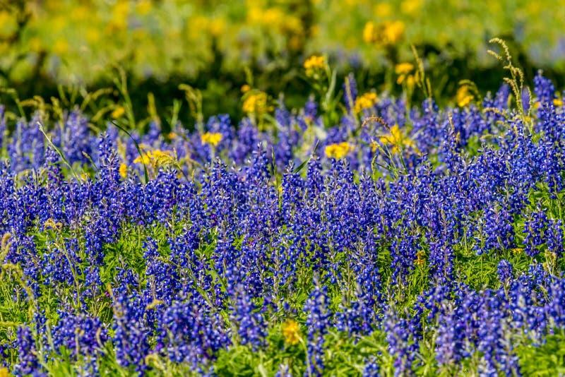 Ciérrese encima de vista de un campo cubierto con Texas Bluebonnet famoso y otros Wildflowers clasificados imagen de archivo