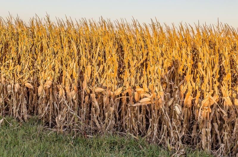 Ciérrese encima de vista del campo de maíz maduro Omaha Nebraska imagen de archivo