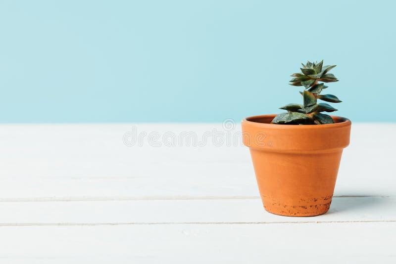 ciérrese encima de vista de la planta suculenta verde en maceta en la superficie de madera blanca fotos de archivo libres de regalías