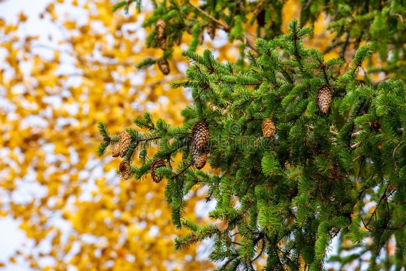 Ciérrese encima de vista de la rama verde del árbol de pino con los conos marrones en fondo de las hojas del amarillo foto de archivo