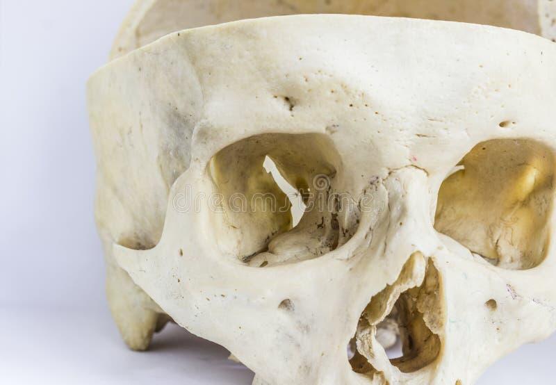 Ciérrese encima de vista macra del hueso humano del cráneo que muestra la anatomía de la cavidad orbital, del agujero nasal, y de foto de archivo libre de regalías
