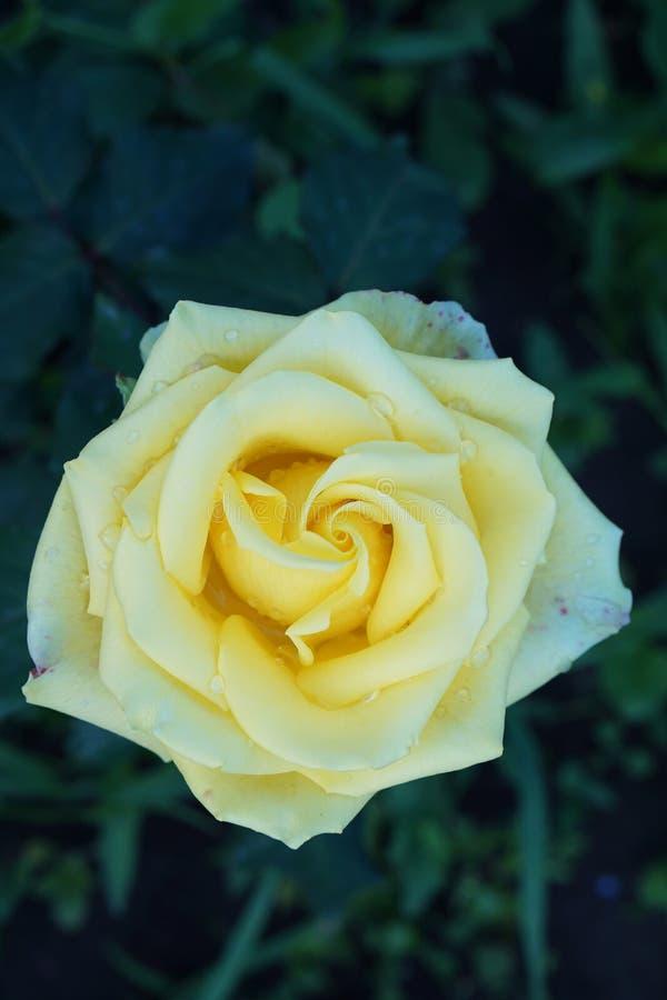 Ciérrese encima de vista superior de una flor de las rosas amarillas fotos de archivo libres de regalías