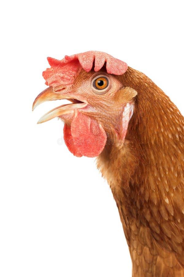 Ciérrese encima del detalle de la cuenta abierta w aislado boca de la cabeza marrón del pollo foto de archivo