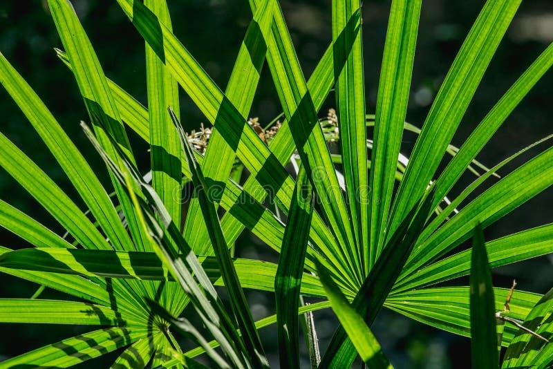 Ciérrese encima del exclesa de hoja de palma verde del Rhapis de la palma o del bambú de señora del fondo de la hoja, PLAMAE fotografía de archivo libre de regalías