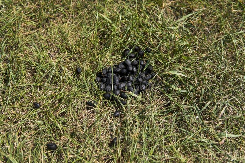 Ciérrese encima del excremento negro de la cabra del color en una tierra de la hierba verde Fertilizante natural abono Agricultur fotos de archivo libres de regalías