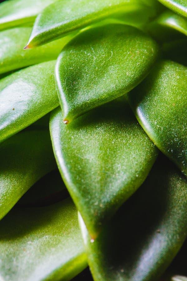 Ciérrese encima del extracto de hojas de punta de un pl interior suculento verde fotografía de archivo libre de regalías