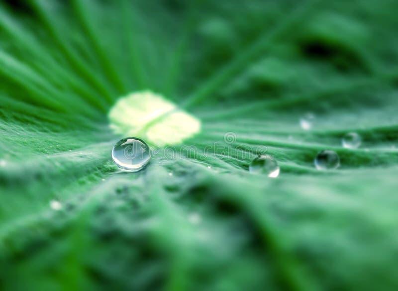 Ciérrese encima del foco selectivo del descenso del agua en la hoja del loto foto de archivo