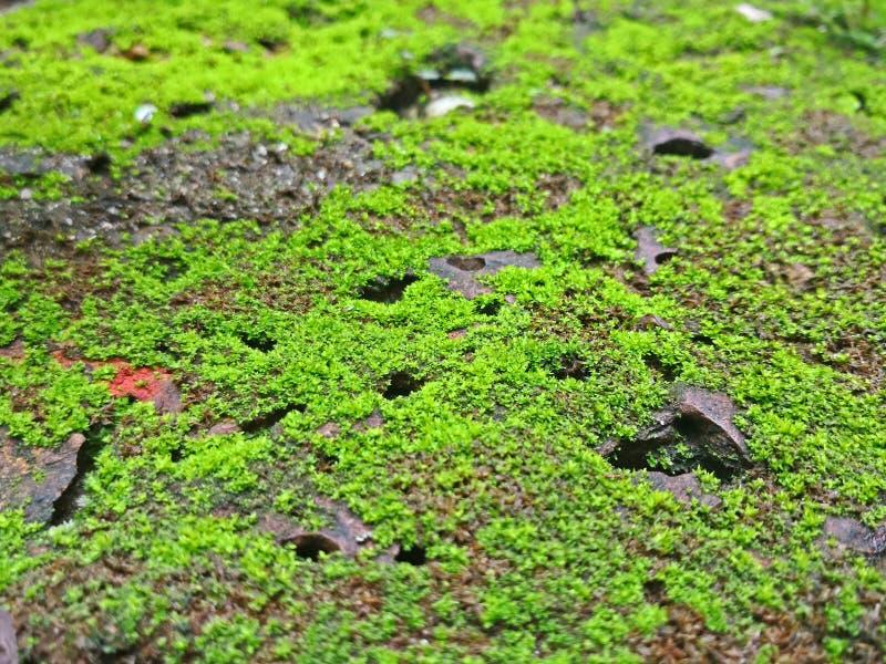 Ciérrese encima del fondo verde de la textura del musgo que crece en piso del ladrillo fotos de archivo