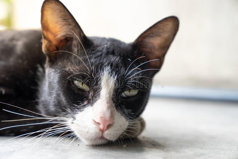 Ciérrese encima del gato negro hermoso, marcas blancas con el lyin soñoliento de la cara fotografía de archivo