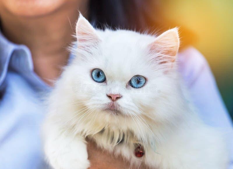 Ciérrese encima del gato persa blanco que mira con los ojos azules fotografía de archivo libre de regalías