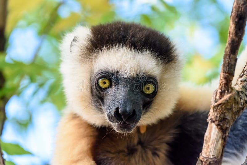 Ciérrese encima del lémur de Sifaka en árbol en Madagascar fotografía de archivo