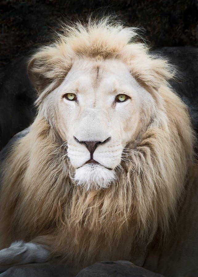 Ciérrese encima del león blanco fotografía de archivo libre de regalías