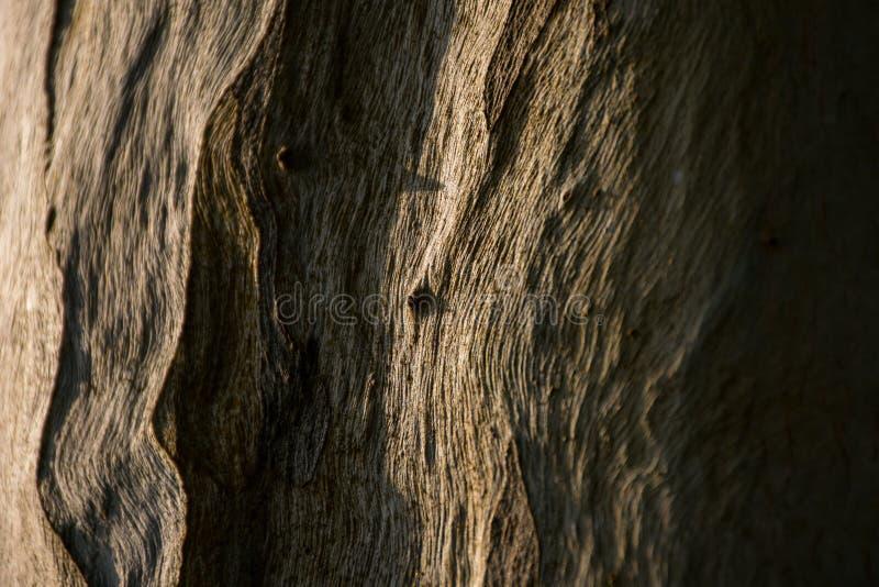 Ciérrese encima del modelo del tronco del eucalipto fotos de archivo libres de regalías