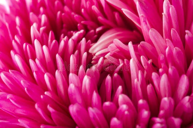 Ciérrese encima del pétalo rosado de la flor del aster fotos de archivo libres de regalías