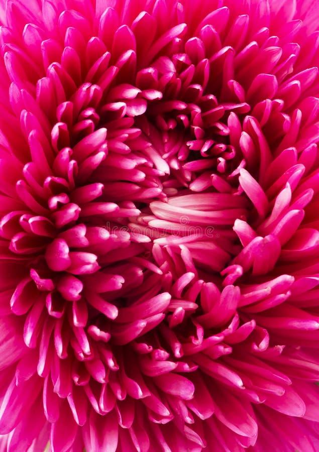 Ciérrese encima del pétalo rosado de la flor del aster foto de archivo libre de regalías