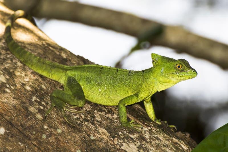 Ciérrese encima del perfil Emerald Green Basilisk Lizard en árbol fotografía de archivo