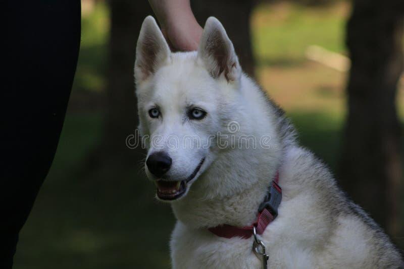 Ciérrese encima del perro esquimal hermoso del perro, la raza ártica magestic imagen de archivo libre de regalías