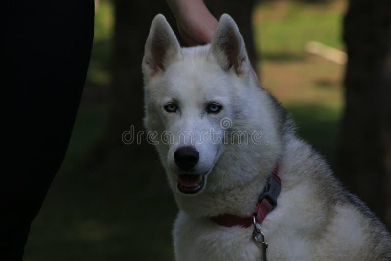 Ciérrese encima del perro esquimal hermoso del perro, la raza ártica magestic imágenes de archivo libres de regalías