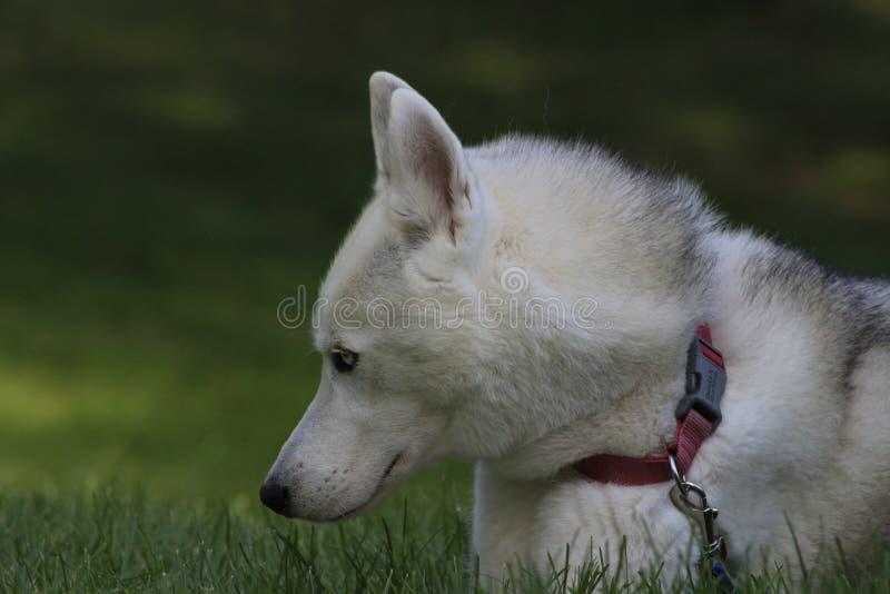 Ciérrese encima del perro esquimal hermoso del perro, la raza ártica magestic imagenes de archivo