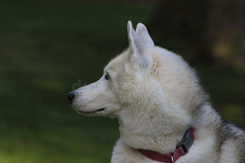 Ciérrese encima del perro esquimal hermoso del perro, la raza ártica magestic fotos de archivo