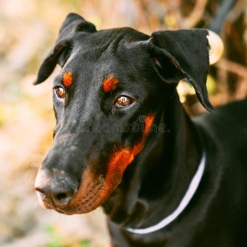 Ciérrese encima del perro negro del Doberman al aire libre imagenes de archivo
