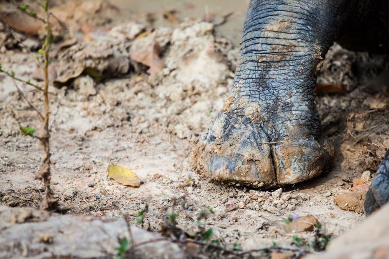 Ciérrese encima del pie del rinoceronte fangoso en la tierra imagen de archivo