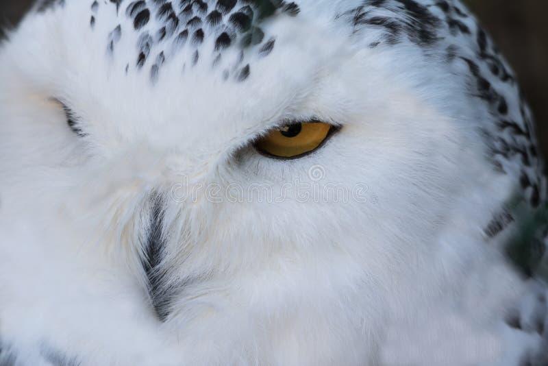 Ciérrese encima del retrato del búho nevoso soñoliento lindo que centella con el ojo imagenes de archivo