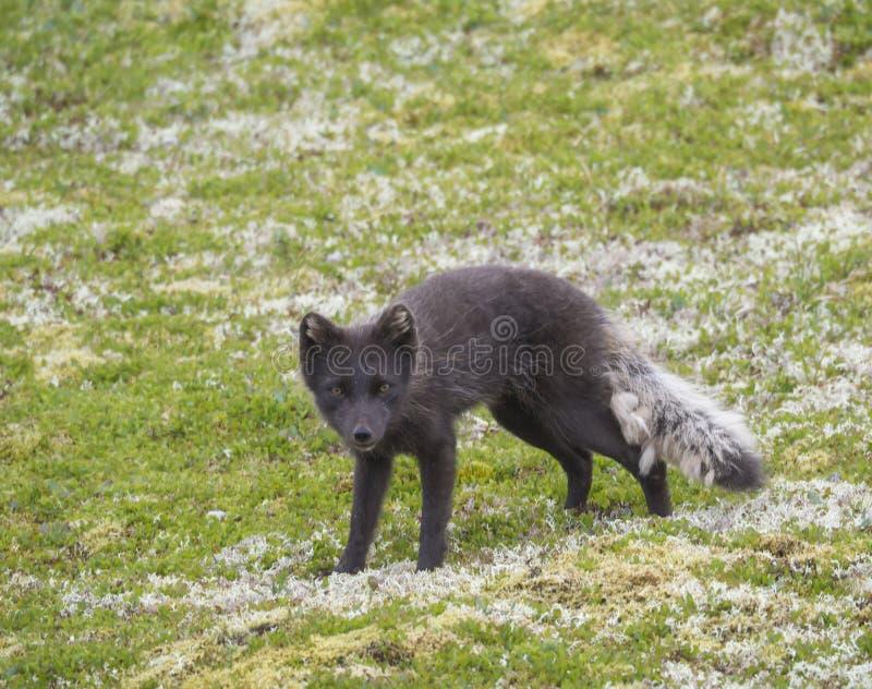 Ciérrese encima del retrato del beringensis del lagopus del Alopex del zorro ártico curiosamente que mira a la cámara que se colo imagen de archivo