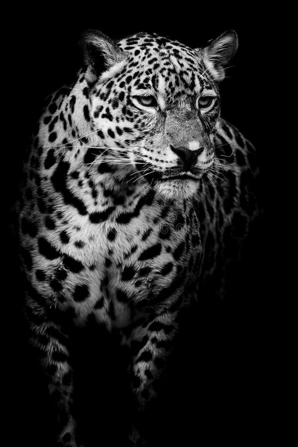 Ciérrese encima del retrato de Jaguar fotos de archivo
