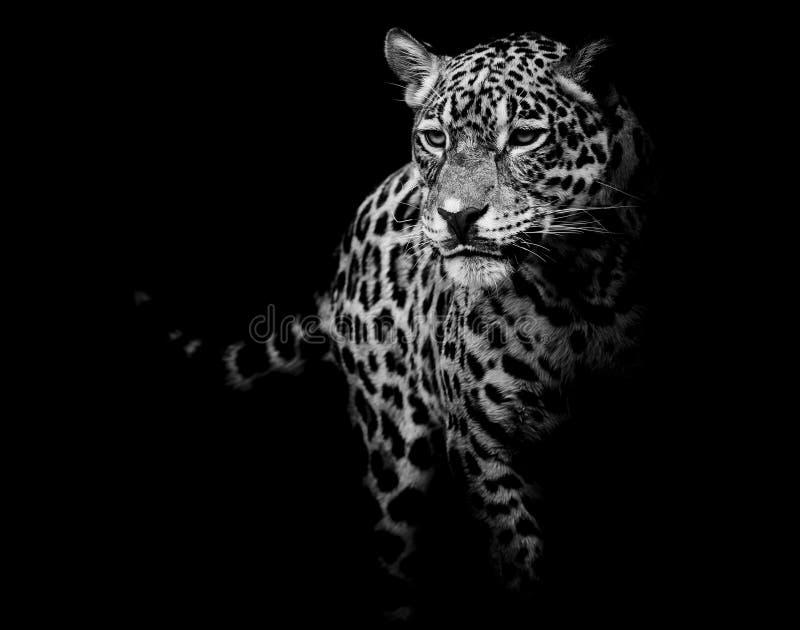 Ciérrese encima del retrato de Jaguar foto de archivo