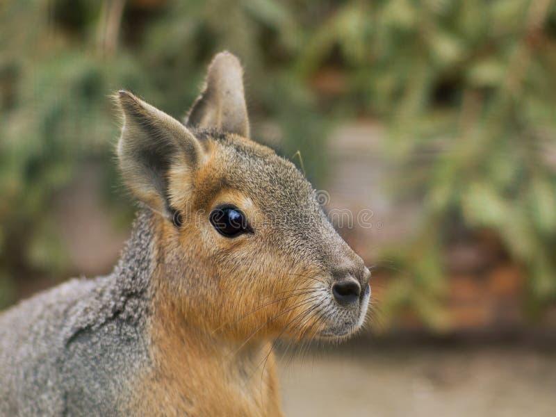 Ciérrese encima del retrato de la cabeza de patagón Mara Este animal es un roedor relativamente grande en el género de Mara imagen de archivo