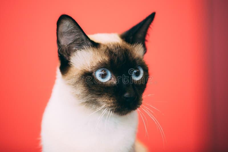 Ciérrese encima del retrato de la cola cortada Cat Kitten At Red Background del Mekong imágenes de archivo libres de regalías