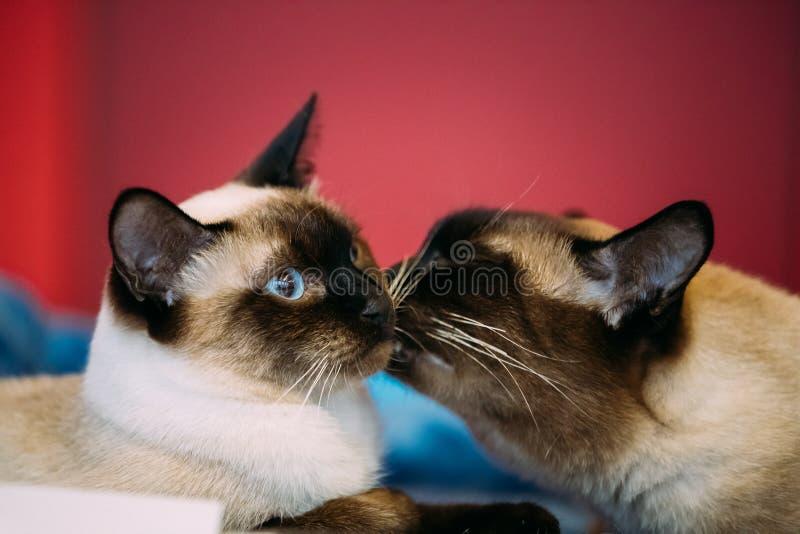Ciérrese encima del retrato de la cola cortada Cat Kitten At Red Background del Mekong imagenes de archivo