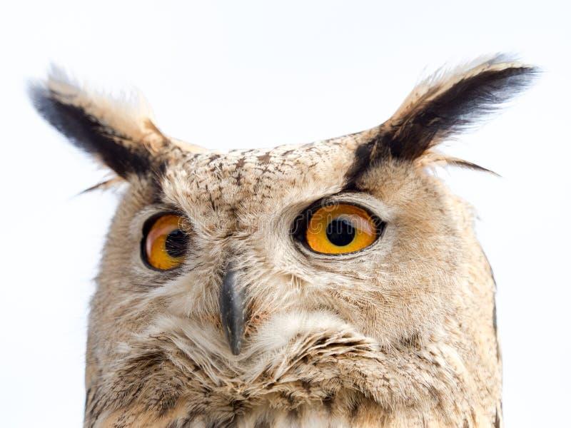 Ciérrese encima del retrato de un bubón del bubón del búho de águila aislado en blanco fotografía de archivo