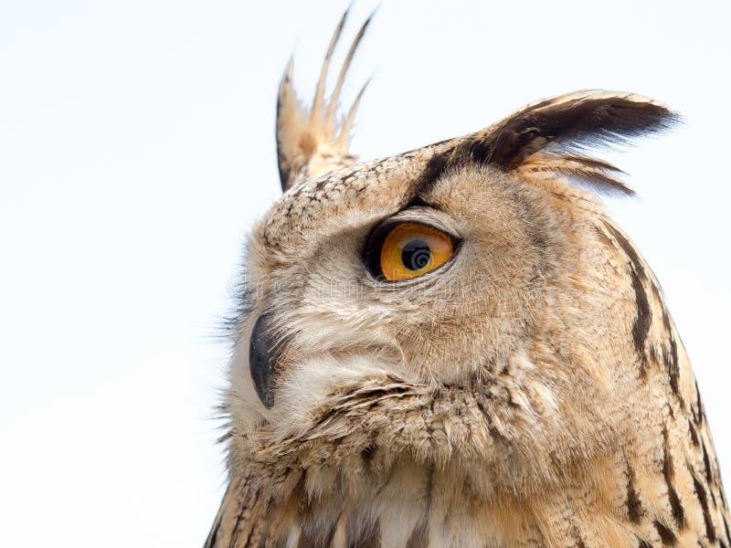 Ciérrese encima del retrato de un bubón del bubón del búho de águila aislado en blanco foto de archivo