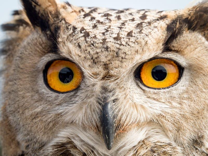 Ciérrese encima del retrato de un bubón del bubón del búho de águila con los ojos amarillos fotografía de archivo